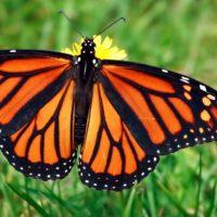 Quanto migrano le farfalle monarca?