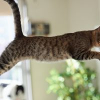 Come fanno i gatti a cadere sempre in piedi?