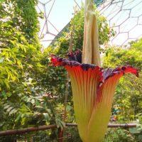 Qual è il fiore più grande del mondo?