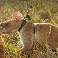 Cosa fanno i ratti giganti in Cambogia?