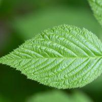 Perché la clorofilia è verde?