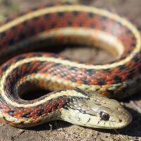 Si possono mangiare i serpenti velenosi?