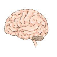 È vero che il cervello si restringe con l'età?