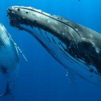 Cosa c'entrano le balene con il cambiamento climatico?