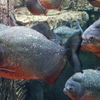 Perché i piranha non si mangiano tra loro?