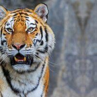 In quale Paese ci sono più tigri?